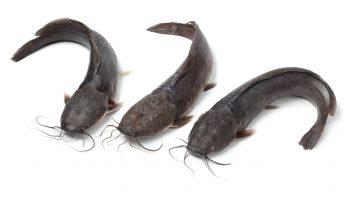 Catfish farming