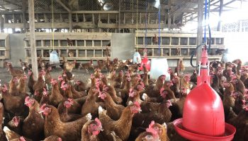 Poultry Chicken Breeds